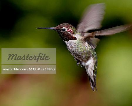 Anna's hummingbird (Calypte anna) hovering, near Saanich, British Columbia, Canada, North America