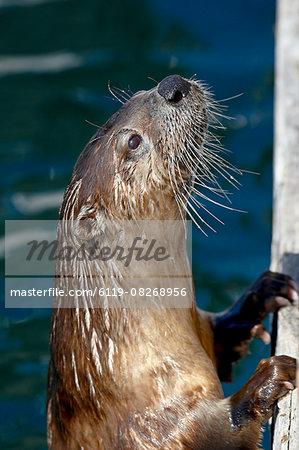 River otter (Lutra canadensis), near Victoria, British Columbia, Canada, North America