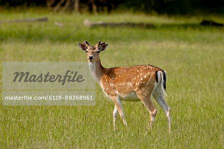 Fallow deer (Dama dama) buck, Sidney Spit, British Columbia, Canada, North America