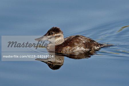 Female ruddy duck (Oxyura jamaicensis) swimming, Sweetwater Wetlands, Tucson, Arizona, United States of America, North America