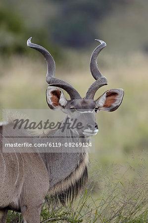 Male greater kudu (Tragelaphus strepsiceros), Mountain Zebra National Park, South Africa, Africa