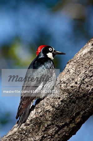 Male acorn woodpecker (Melanerpes formicivorus), Chiricahuas, Coronado National Forest, Arizona, United States of America, North America