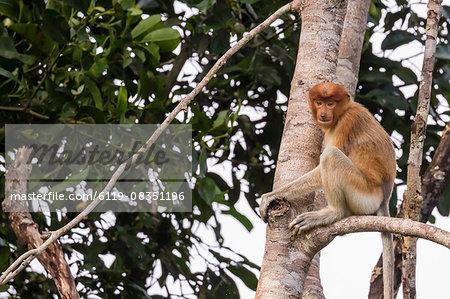 Proboscis monkey (Nasalis larvatus) endemic to Borneo, Tanjung Puting National Park, Borneo, Indonesia, Southeast Asia, Asia