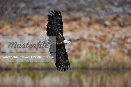 Bald Eagle (Haliaeetus leucocephalus) in flight, Yellowstone National Park, UNESCO World Heritage Site, Wyoming, United States of America, North America