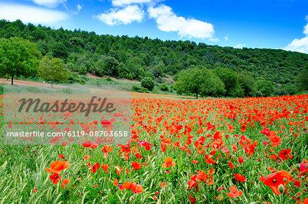 Poppy fields near Covarrubias, Castile and Leon, Spain Europe