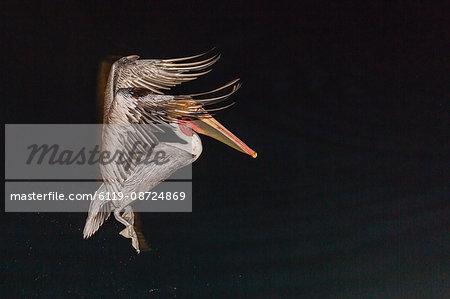 An adult brown pelican (Pelecanus occidentalis), at night near Isla Santa Catalina, Baja California Sur, Mexico, North America