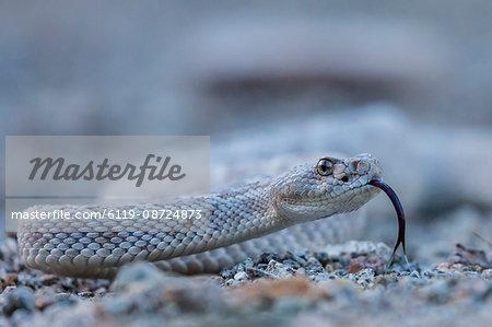 Ash colored morph of the endemic rattleless rattlesnake (Crotalus catalinensis), Isla Santa Catalina, Baja California Sur, Mexico, North America