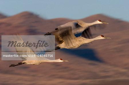 Sandhill Cranes, Grus canadensis, Socorro, Bosque del Apache, New Mexico, United States of America, North America