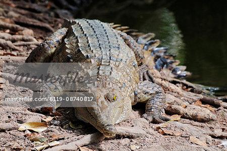 Saltwater crocodile, Northern Territory, Australia, Pacific