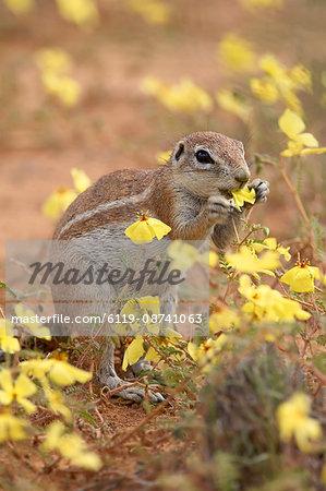 Cape ground squirrel (Xerus inauris) eating yellow wildflowers, Kgalagadi Transfrontier Park, encompassing the former Kalahari Gemsbok National Park, South Africa, Africa