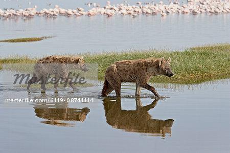 Two spotted hyena (spotted hyaena) (Crocuta crocuta) walking along the edge of Lake Nakuru, Lake Nakuru National Park, Kenya, East Africa, Africa