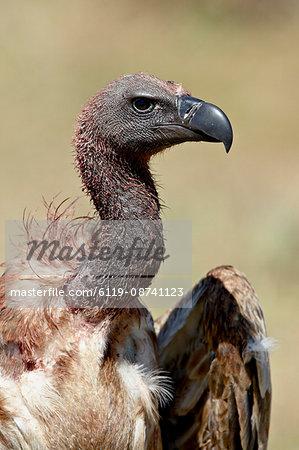 African white-backed vulture (Gyps africanus), Masai Mara National Reserve, Kenya, East Africa, Africa