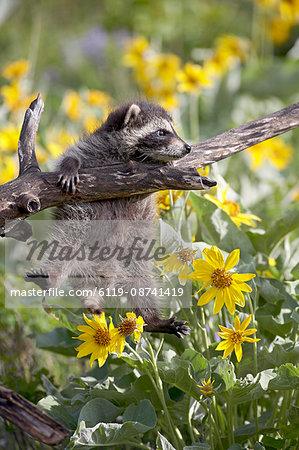 Baby raccoon (Procyon lotor) in captivity, Animals of Montana, Bozeman Montana, United States of America, North America