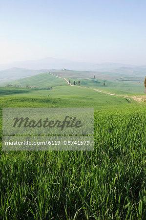 Corn fields near Pienza, Val D'Orcia, Tuscany, Italy, Europe