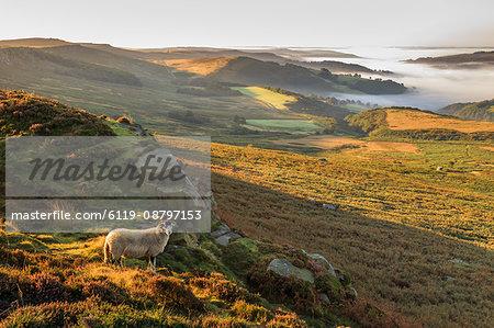 Sheep, valley with temperature inversion fog, Stanage Edge, Peak District National Park, autumn heather, Derbyshire, England, United Kingdom, Europe