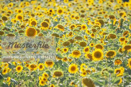 Field of sunflowers, Moustiers Sainte Marie, Alpes de Haute Provence, Provence, France, Europe