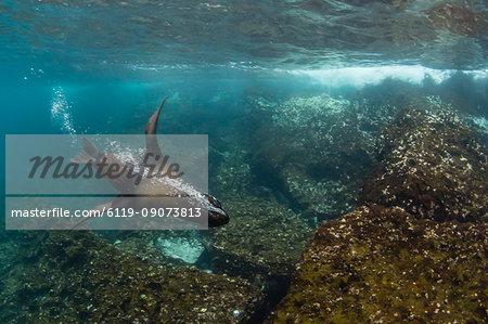 Galapagos fur seal (Arctocephalus galapagoensis) underwater on Santiago Island, Galapagos, Ecuador, South America