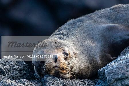 Adult Galapagos fur seal (Arctocephalus galapagoensis), hauled out on Santiago Island, Galapagos, Ecuador, South America