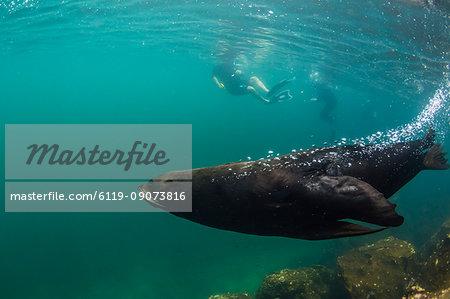 Adult bull Galapagos fur seal (Arctocephalus galapagoensis) underwater on Genovesa Island, Galapagos, Ecuador, South America