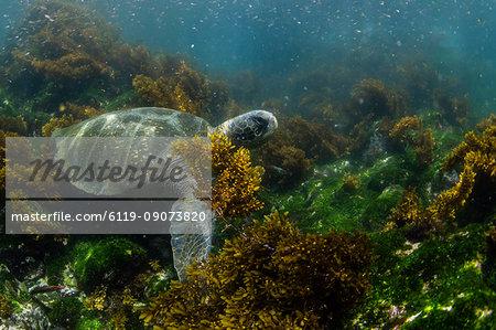 Pacific green sea turtle (Chelonia mydas) underwater on Fernandina Island, Galapagos, Ecuador, South America