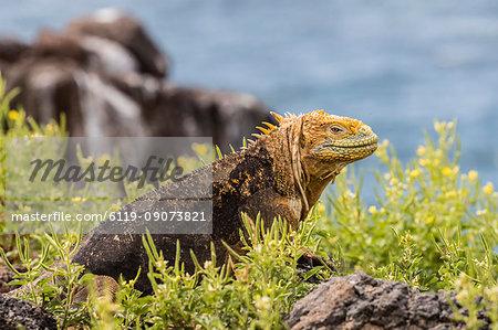 An adult Galapagos land iguana (Conolophus subcristatus), basking on North Seymour Island, Galapagos, Ecuador, South America