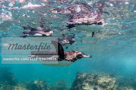 Galapagos penguins (Spheniscus mendiculus) swimming underwater at Bartolome Island, Galapagos, Ecuador, South America