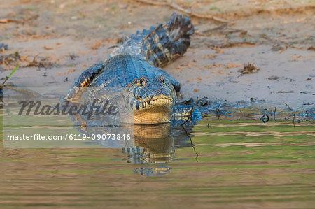 Yacare caiman (Caiman yacare), Pantanal, Mato Grosso, Brazil, South America