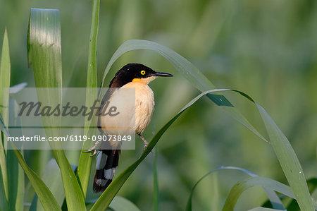 Black-capped Donacobius (Donacobius atricapilla) in vegetation, Pantanal, Mato Grosso State, Brazil, South America