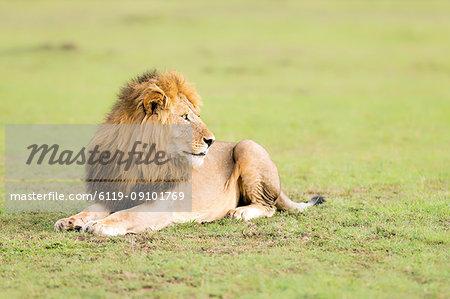 Lion, Masai Mara, Kenya, East Africa, Africa