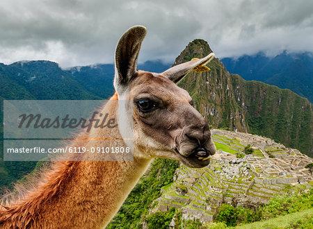 Llama in Machu Picchu, Cusco Region, Peru, South America