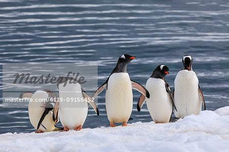 Gentoo penguins (Pygoscelis papua) in a line at the snowy sea shore, Cuverville Island, Antarctic Peninsula, Antarctica, Polar Regions