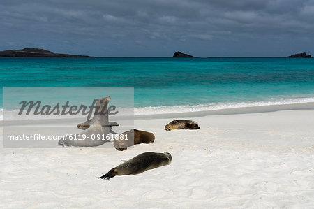 Galapagos Sea Lions (Zalophus californianus wollebaeki), Gardner Bay, Espanola Island, Galapagos Islands, UNESCO World Heritage Site, Ecuador, South America
