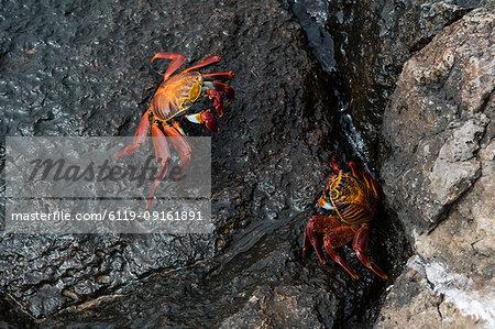 Sally Lightfoot Crab (Grapsus grapsus), South Plaza Island, Galapagos Islands, UNESCO World Heritage Site, Ecuador, South America