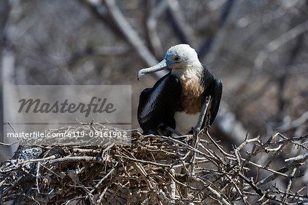 Magnificent frigate bird (Fregata magnificens), North Seymour Island, Galapagos Islands, UNESCO World Heritage Site, Ecuador, South America