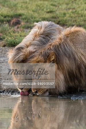 Two male lions (Panthera leo) drinking, Ndutu, Ngorongoro Conservation Area, Serengeti, Tanzania, East Africa, Africa