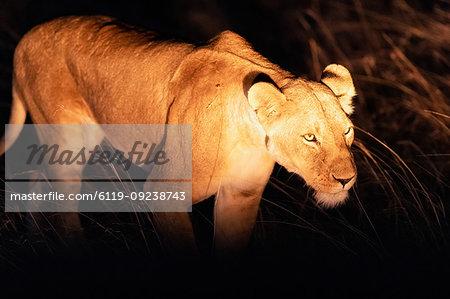 Lioness hunting at night, Masai Mara, Kenya, East Africa, Africa