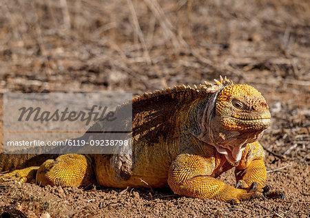 Land iguana (Conolophus subcristatu), Dragon Hill, Santa Cruz (Indefatigable) Island, Galapagos, UNESCO World Heritage Site, Ecuador, South America