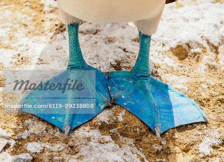 Blue-footed booby feet (Sula nebouxii), Punta Pitt, San Cristobal (Chatham) Island, Galapagos, UNESCO World Heritage Site, Ecuador, South America