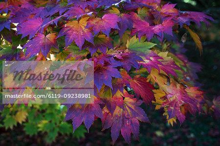 Autumn colours, Westonbirt National Arboretum, Gloucestershire, England, United Kingdom, Europe