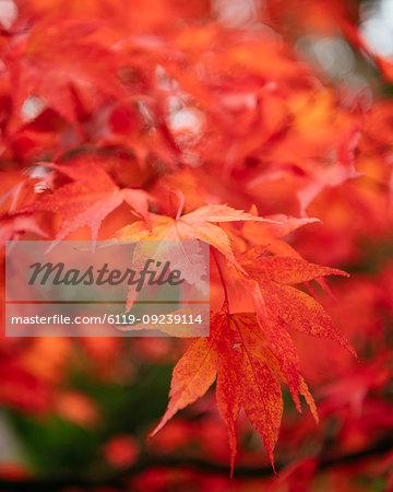 Maple leaves during autumn, Rydal Mount, Rydal, Lake District, Cumbria, England, United Kingdom, Europe