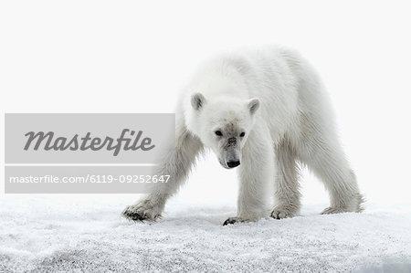 Polar bear walking on glacier in Bjornsundet, Spitsbergen, Norway, Europe