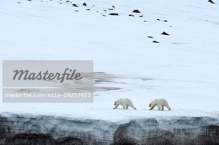 Two polar bears walking on glacier in Bjornsundet, Spitsbergen, Norway, Europe