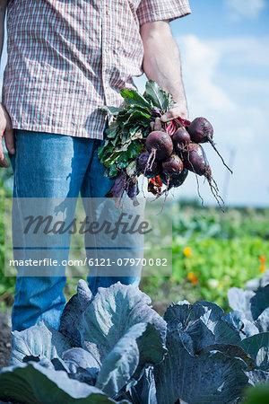 Man garden beetroot cabbage harvest