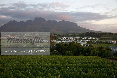 Vines in a vineyard, Stellenbosch, Western Cape Province, South Africa