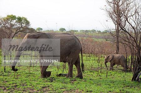 Elephants walking in a forest, Kruger National Park, South Africa,