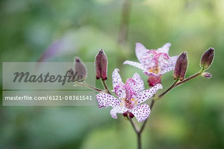 Close-up of purple toad lilies (Tricyrtis formosana), Munich, Bavaria, Germany