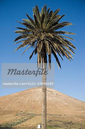 Palm tree and volcanic mountain, Tahiche, Lanzarote