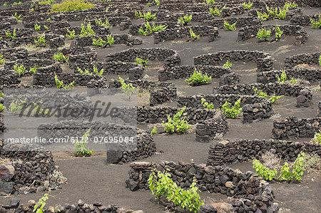 Vineyards protected by stone walls, La Geria, Lanzarote
