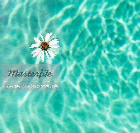 Flower floating in swimming pool