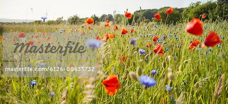 Sweden, Skane, Slimminge, View of flowers in meadow (Papaver rheas, Cyanus segetum)